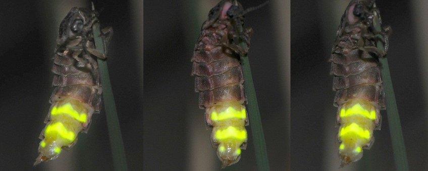 Wijfje Grote glimworm