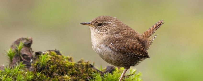 Aangeleverd via de Vogelbescherming Winterkoning