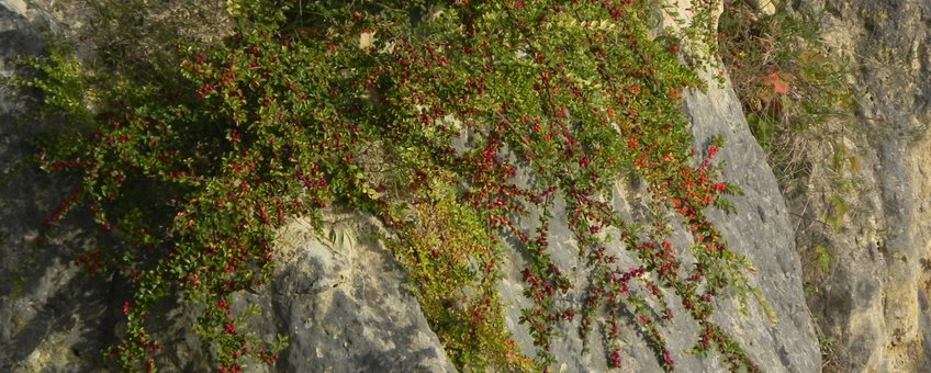Cotoneaster divariacatus op merchelgroeve richels