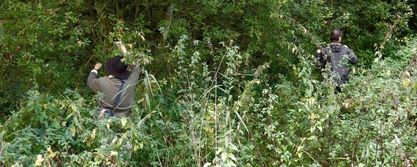 zoeken rupsen grote weerschijnvlinder