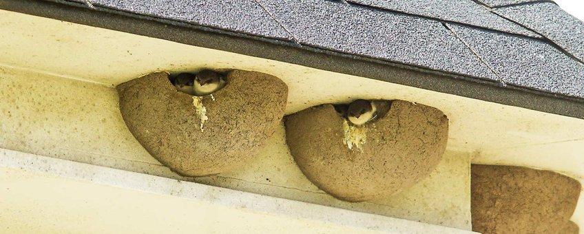 Zwaluwnesten aan de til