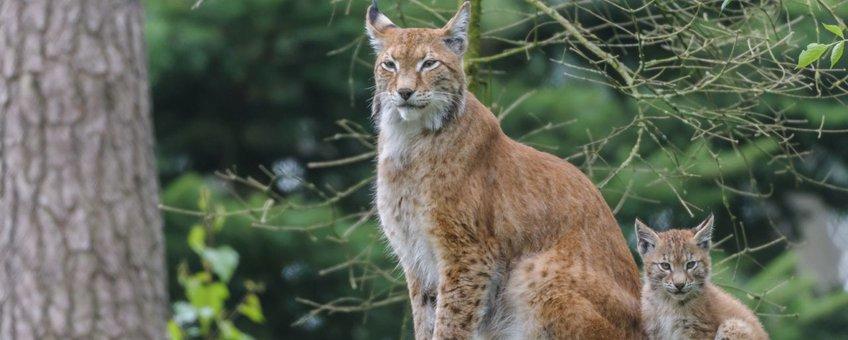 Eurazische lynx - eenmalig gebruik