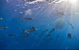 One time use. Sailfish, baitball, hunting, open ocean
