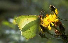 citroenvlinder op gele composiet