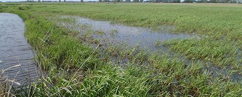 Honderden larven van de grote modderkruiper tussen de ondergelopen grassprietjes in de uiterwaarden bij Zwarte Water