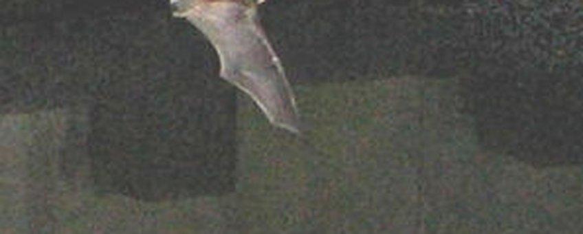 meervleermuis in donker