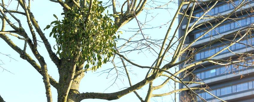 Maretak, vogellijm, mistletoe, heksenbezem in linde bij provinciehuis Brabant