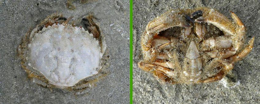 De Amelandse Ovaalronde krab liggend in de vloedlijn, gefotografeerd van de bovenzijde en van de onderzijde