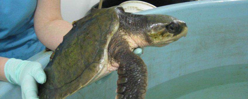 Kemps zeeschildpad aangespoeld in Scheveningen december 2011 foto alleen voor dit bericht