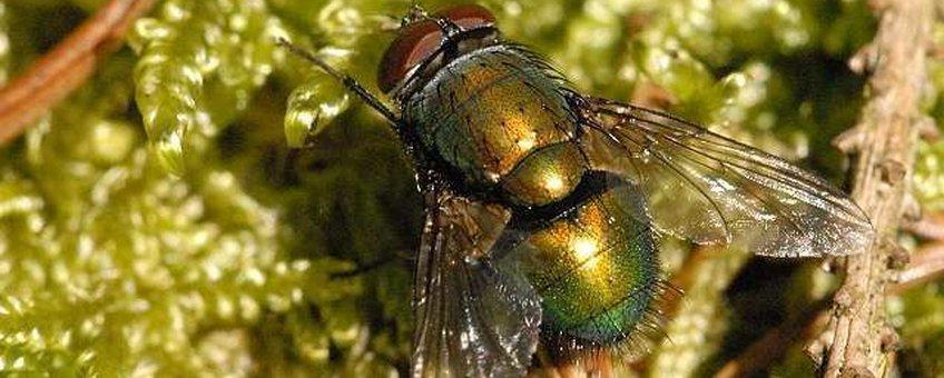 Groene paddenvlieg imago