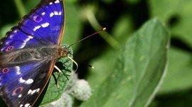 Kleine weerschijnvlinder - primair