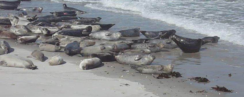 Gewone zeehonden op zandbank. (foto: Andreas Trepte, www.photo-natur.de) wikipedia