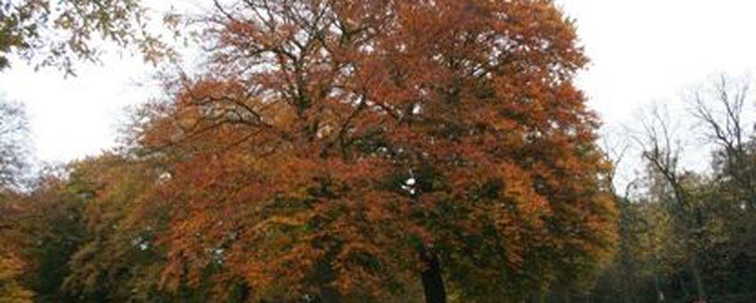 Beuk 100% verkleurd, 31-10-2009 Rhenen. Grebbeberg