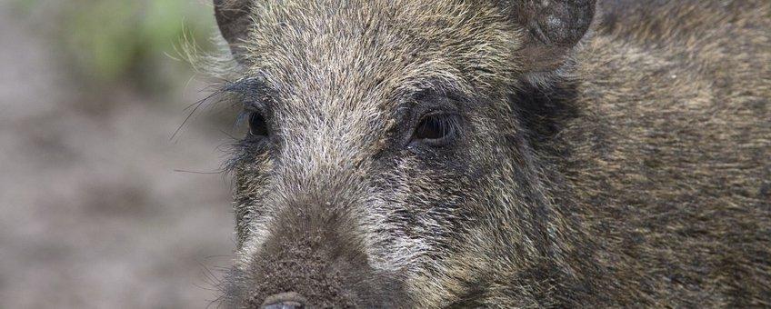 Sus scrofa 18, Wild zwijn, Saxifraga-