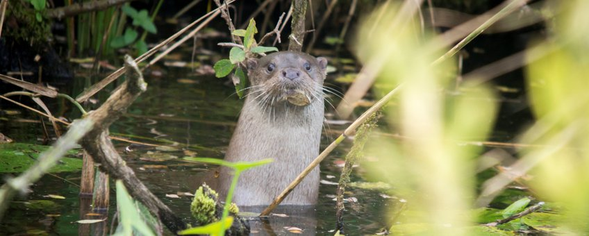 Otter lead