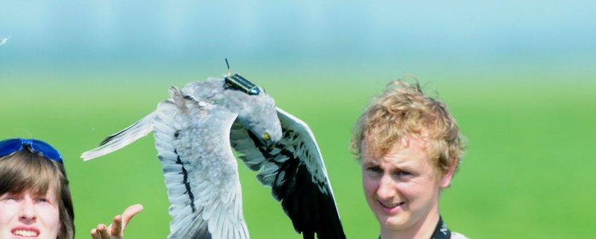 Grauwe Kiekendief wordt vrijgelaten met GPS-logger.