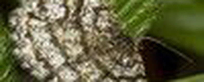 heispanner klein
