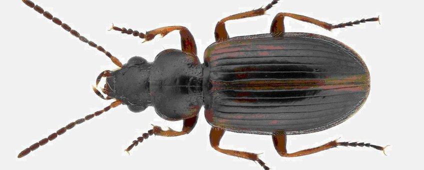 Heidehaaroogkever,Trichocellus cognatus, één van de soorten die in de winter actief blijven. Foto: Theodoor Heijerman, Stichting Willem Beijerinck Biologisch Station.