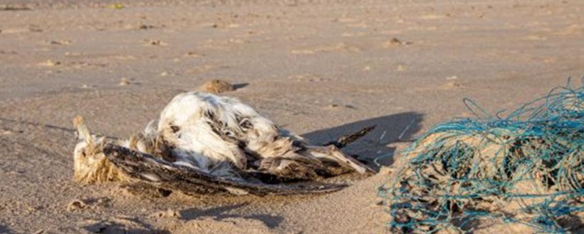 Een dode noordse stormvogel in een stormlijn op het Nederlandse strand