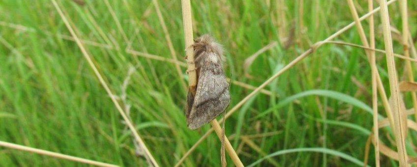 Eikenprocessievlinder uit een grondnest.