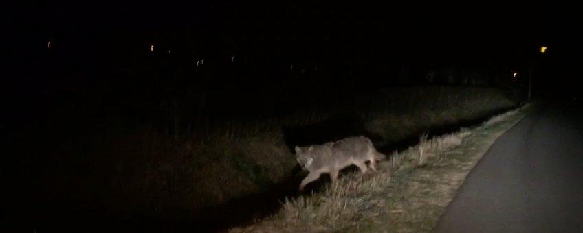 Wolf in Gelderland