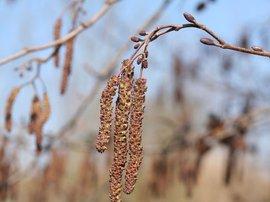 Bloei witte els Alnus incana door Paul Busselen. http://www.plantaardigheden.nl/indexen/kulak/fotos_a.htm