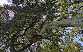Feromoon aanbrengen hoog in de boom voor mate disruption experiment