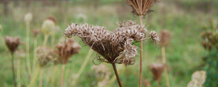 Rijpe zaden van de Wilde peen in Vechterweerd bij Dalfsen