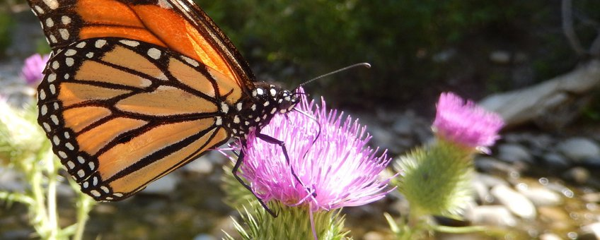 monarchvlinder 2 - primair