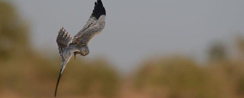 Grauwe Kiekendief 'Edwin' in Sengal jagen op sprinkhanen