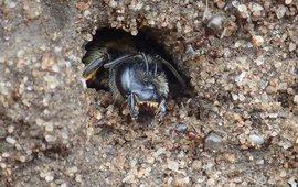 Vierbandgroefbij in nest in stierenkuil