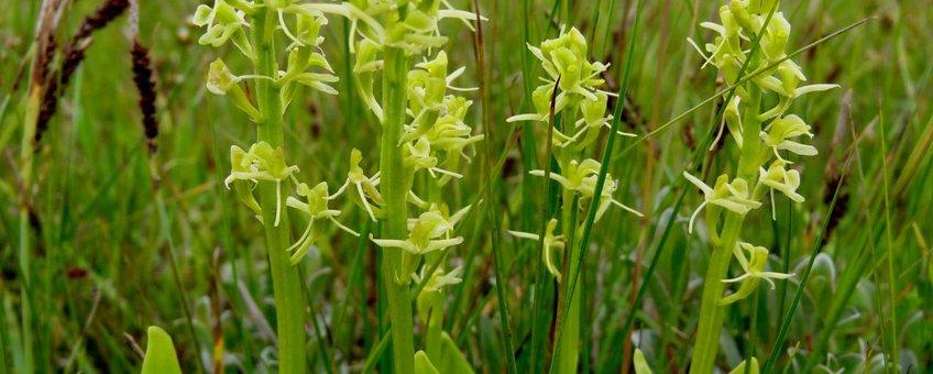 Bloeiende Groenknolorchis op de Veermansplaat in de Grevelingen.