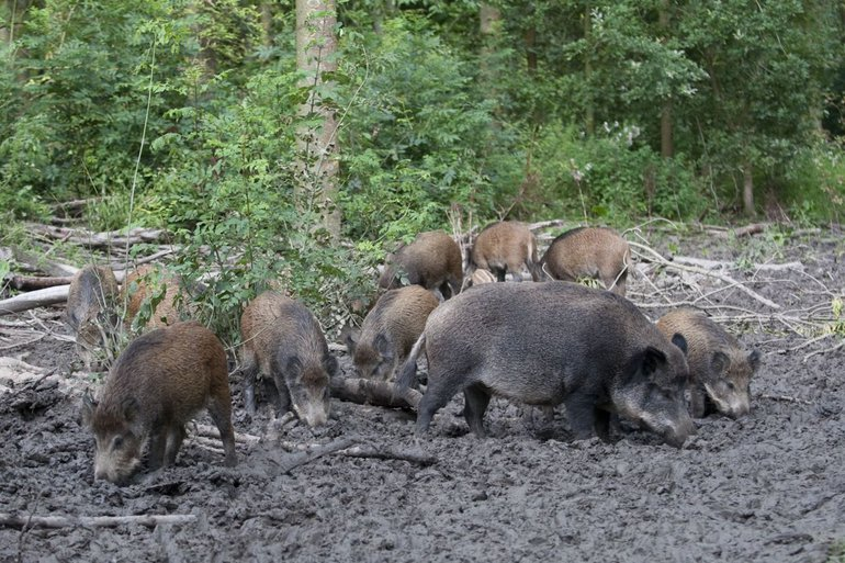 Wild boars foraging