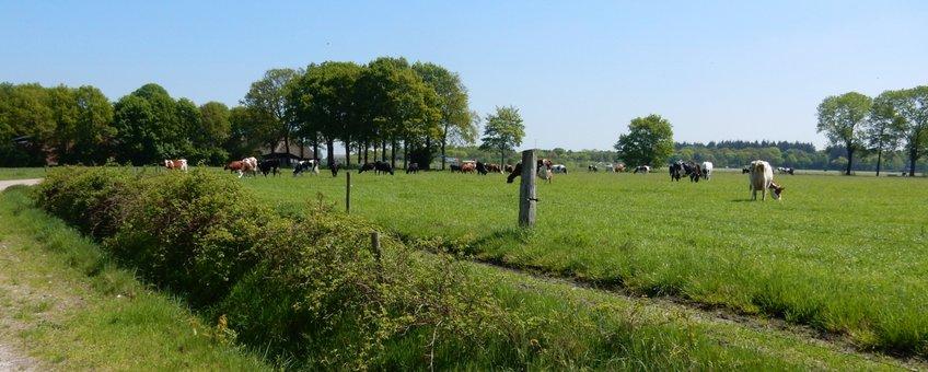 koeien in de wei - primair