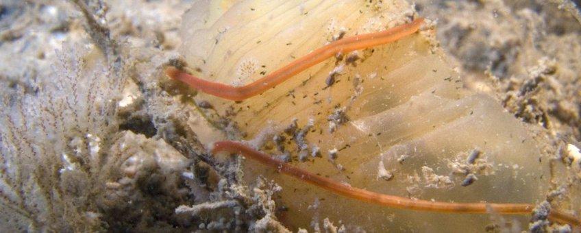 De Snoerworm Cephalothrix simula is in 2012 voor het eerst in de Oosterschelde aangetroffen