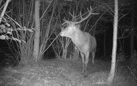 Het plaatshert (grootste, sterkste edelhert) voor de camera in natuurgebied de Mortelen aan het begin van de bronsttijd in de avond van 17 september EENMALIG GEBRUIK