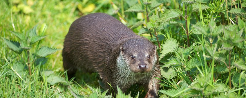 Otters vinden het vaak spannend om onder bruggen of door duikers heen te zwemmen. In een gebied dat ze (nog) niet goed kennen, vervolgen ze hun route vaak via de oever en over de weg. Met alle gevaren van dien.