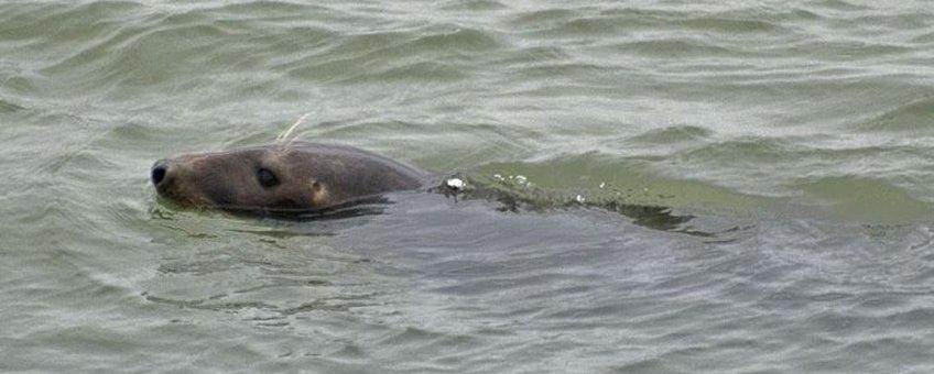 Zeehond in Grevelingenmeer