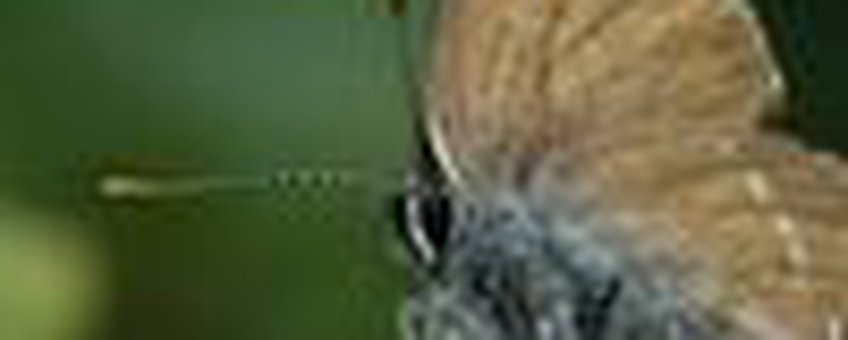 bruine eikenpage klein