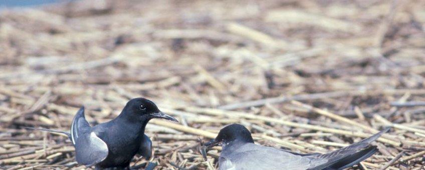 Paartje zwarte sterns broedend op een kunstmatig nest