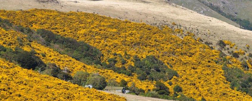 Grootschalige invasie van Gaspeldoorn (Ulex europaeus) in het Hinewai natuurreservaat op het Banks schiereiland in Nieuw-Zeeland. Gaspeldoorn werd hier vanuit Europa geïntroduceerd in de eerste fase van de Europese nederzettingen. Het beheersen van de invasie kost miljoenen dollars