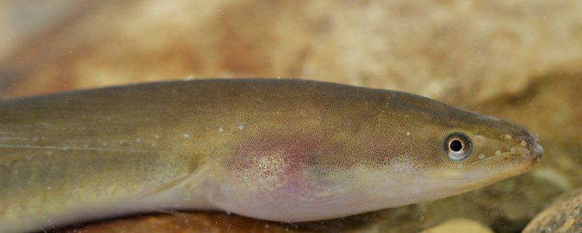 Europese paling