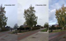 Herfstontwikkeling van een berk in Bennekom op 1 november 2017, 1 november 2018 en 3 november 2019