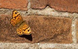 argusvlinder op muur - primair