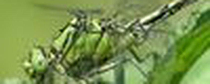 gaffellibel klein