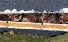Gewone grootoorvleermuizen in een vleermuiskast