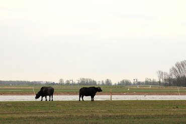 Waterbuffels in de Noordwaard