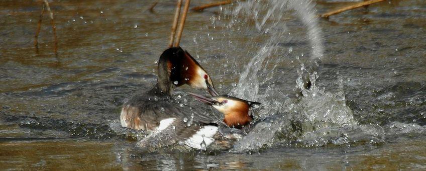 Vechtende futen hebben het voorjaar in de bol