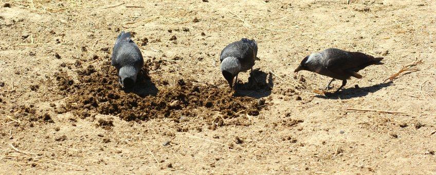 Kauwen verspreiden de poep op zoek naar larven