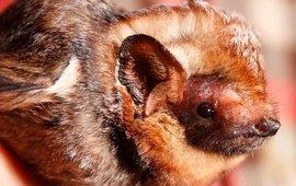 Hawaiian hoary bat (Lasiurus cinereus semotus),